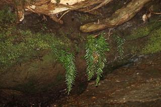 Fork Fern  (Tmesipteris truncata)