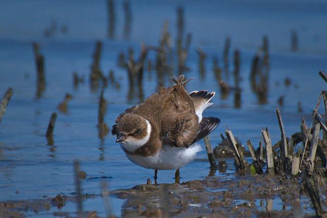 Pluvier semipalmé --- Semipalmated plover ---    Chorlito semipalmado
