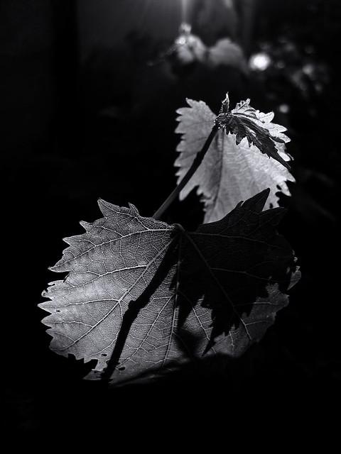 Grape leaves. Light and shadow. Monochrome.