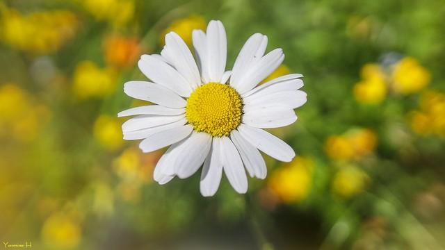 Daisy - 7387