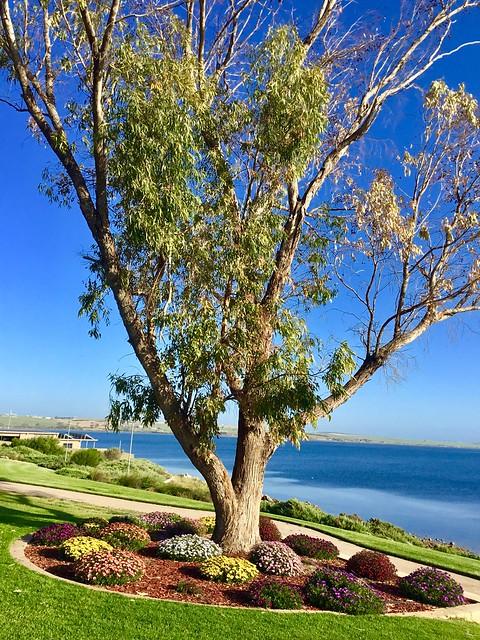 Eyre Peninsula.Streaky Bay. Pretty different coloured gazanias beneath a gum tree on the esplanade.