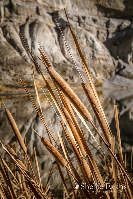 Bull Rush, Blue Lake, St Bathans, Central Otago