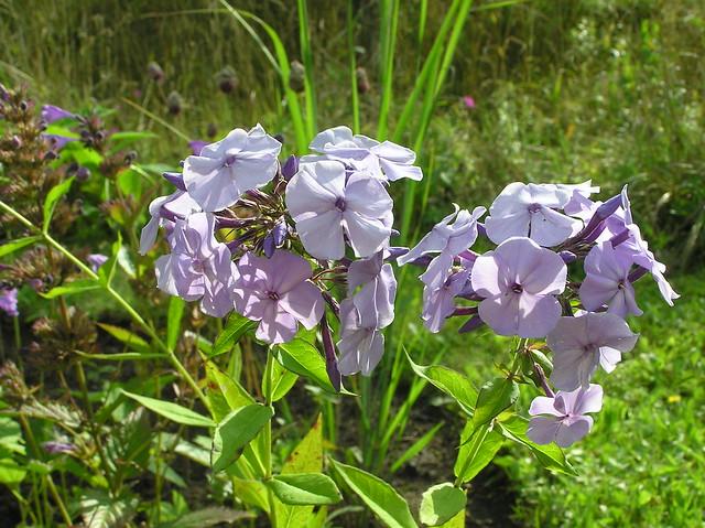 Phlox paniculata 'Donau'