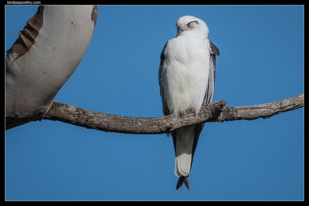 Black-shouldered Kite: Caught Napping