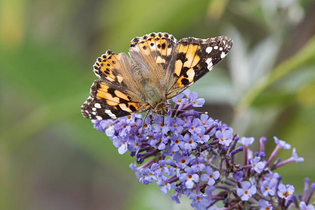 Painted Lady Lincolnshire 07-09-2019 Ian W