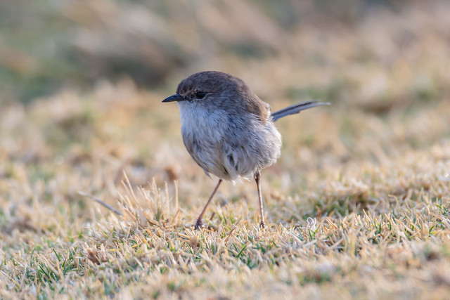 Male Fairy-wren in Non-breeding Plummage and showing signs of colour change