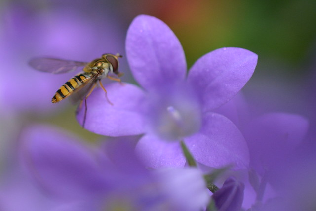 Hoverfly in the Camp!