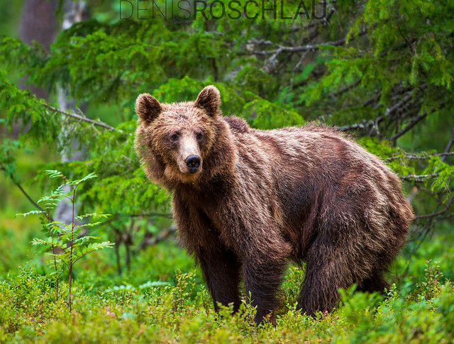 Young Brown Bear #explored