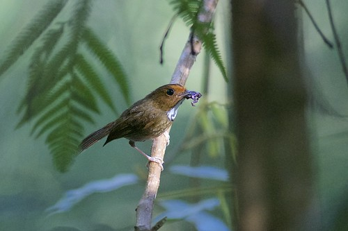 Rufous-browed Flycatcher (Anthipes solitaris) with frog, Bukit Fraser, Pahang, Malaysia