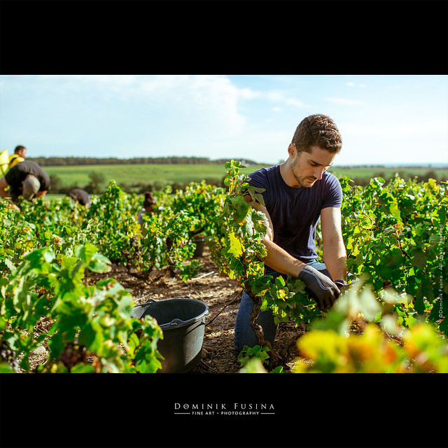 Vendanges en Beaujolais