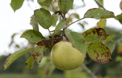 Community Orchard apple portrait II