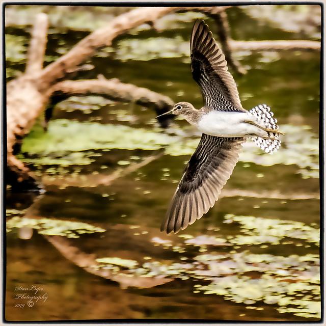 Solitary Sandpiper In Flight