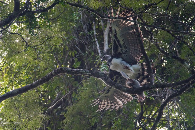Harpy Eagle and dinner