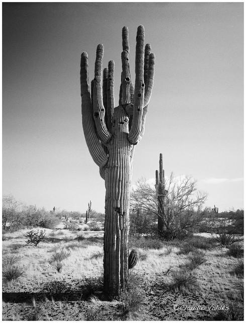 Sonoran Desert Dream