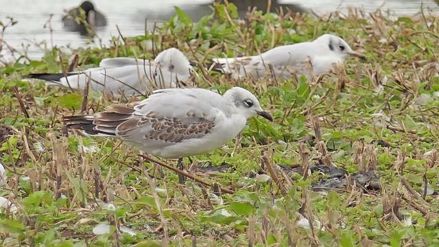 First winter Mediterranean Gull, Slimbridge Wetland Centre, Gloucestershire, 11th September 2019