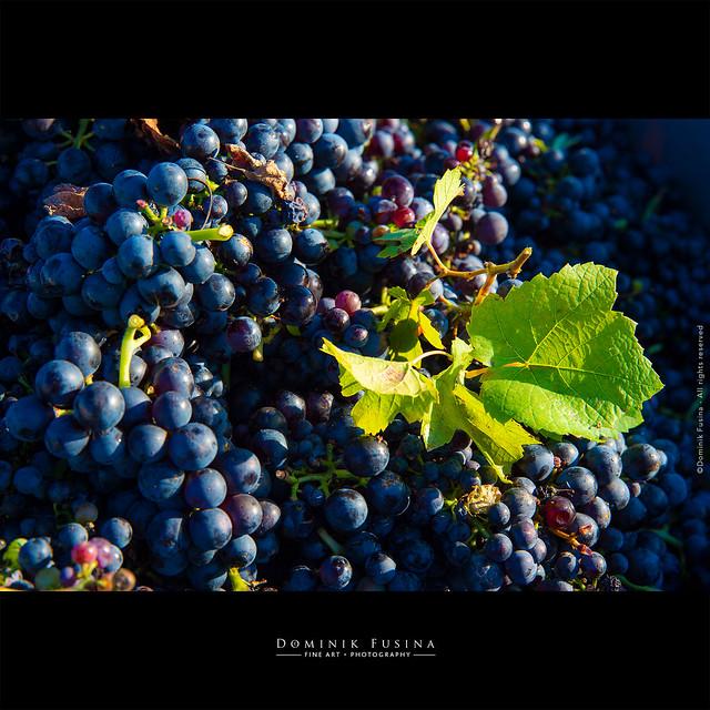 Ramassage - Beaujolais 2019