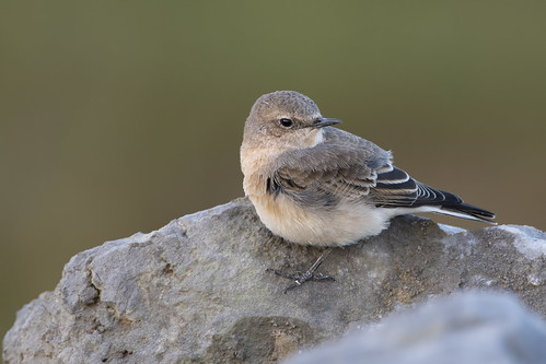 Eastern Black-eared Wheatear (Oenanthe melaoleuca) - Pilling, Lancs, UK. | by www.pbase.com/davebarnes