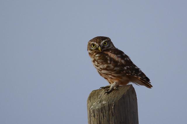 Little Owl at Sunset