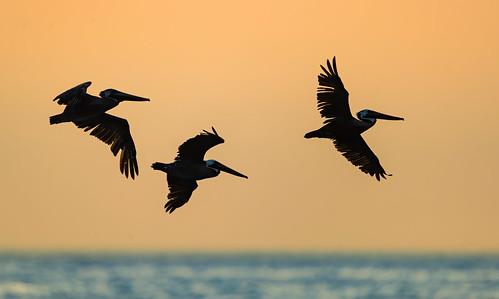 """brownpelican"" ""brownpelicans"" pelicans bird birds birding nature wildlife animal ""wildlifephotography"" ""naturephotography"" ""birdphotography"" avian ""avianspecies"" ""avianphotography"" ""birdinginthewild"" feathers ""featheredfriends"" ""worldbirds"" ""birdsoftheworld"" flight ""inflight"" colors wings ""plungediving"" ""diving"" ""pelicanfeeding"" florida ""april2017"" ""drytortugas"" ""drytortugasnwr"" ""america'smostinaccessiblenationalpark"" ""keys"" ""floridakeys"" ""september2018"" ""holgate"" ""lbi"" ""longbeachisland"" ""birdsofnewjersey"" ""august2019"" ""september2019"""