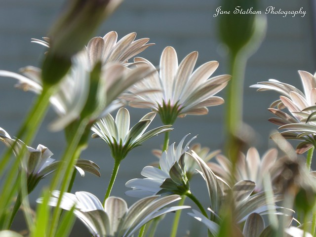 Looking up at the Cape Daisies.