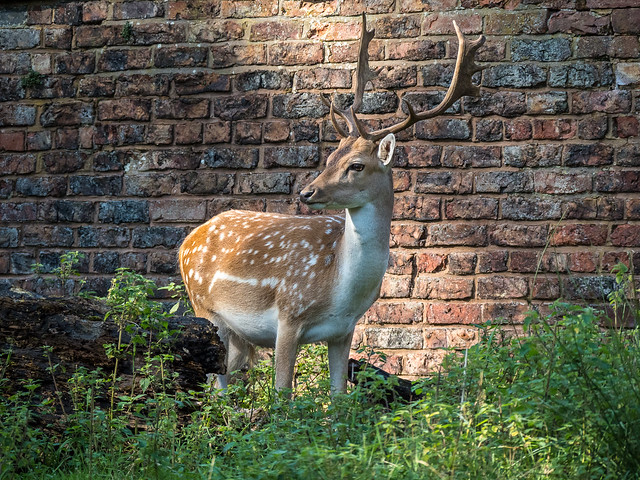 Dunham Deer