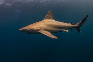Sandbar Shark-115543
