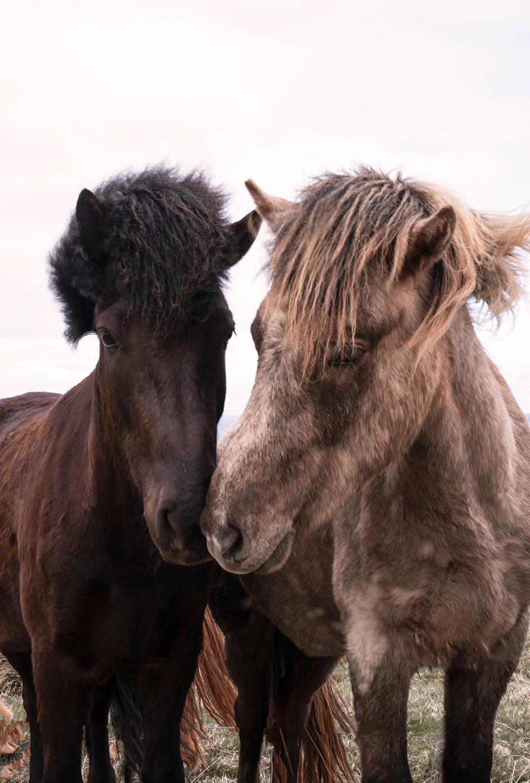10hvammstangi-iceland-icelandichorses-horses-animal-travel-landscape