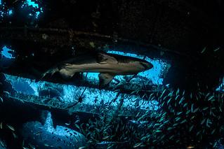Sand Tiger shark-113955-2
