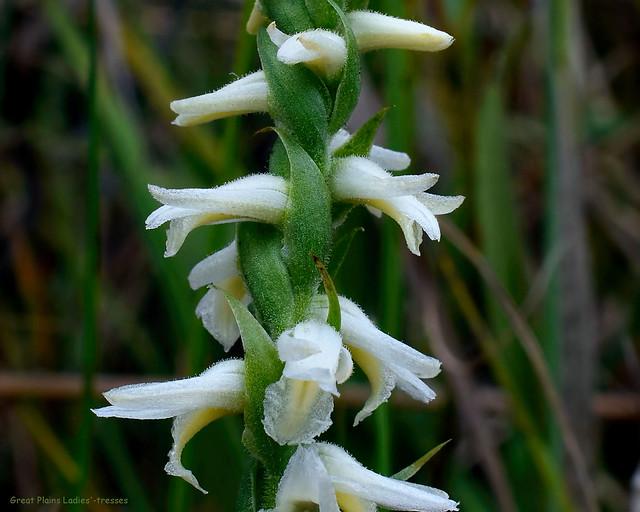 Great Plains Ladies'-tresses - Spiranthes magnicamporum - Orchidaceae  -  Orchid Family