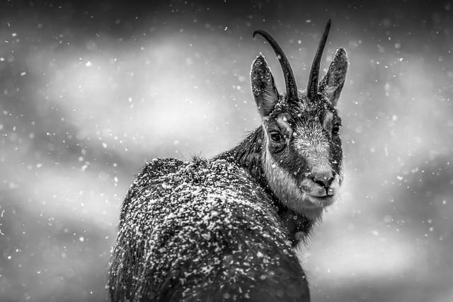 chamois sous la neige bw-2