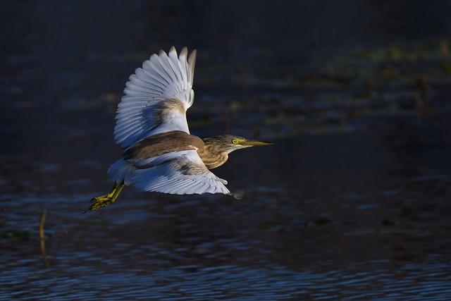 Crabier chevelu - Ardeola ralloïdes - Squacco heron