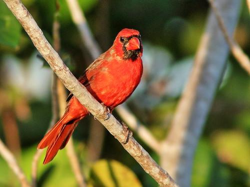 Northern Cardinal 04-20190912