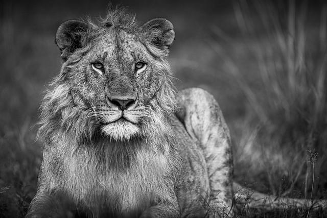 portrait d'une jeune lion mâle bw-3971