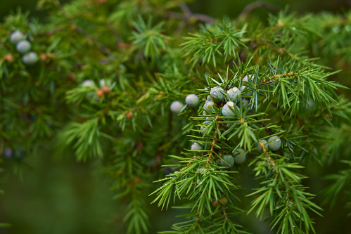 An image of juniper leaves and berries taken in close up.