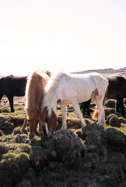 09hvammstangi-iceland-icelandichorses-horses-animal-travel-landscape