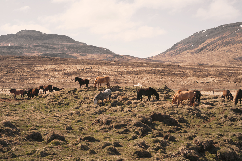 06hvammstangi-iceland-icelandichorses-horses-animal-travel-landscape