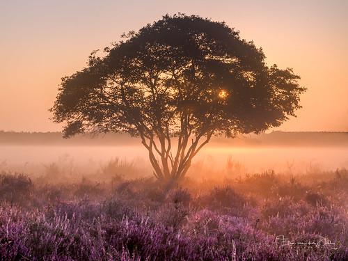 zonsopkomst natuur color nature mist boom outdoor augustus tree sunrise landscape purple netherlands landschap kleur lucht heide bussum sky fog heather 2019 wolken field hilversum noordholland nederland
