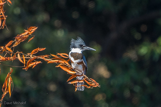 Belted Kingfisher - juvenile female I