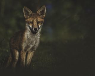 Fox, Bristol.