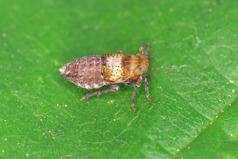 Conomelus anceps