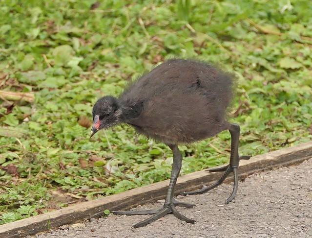 A very young Common Moorhen chick still in the care of the parents, Slimbridge Wetland Centre, Gloucestershire, 11th September 2019