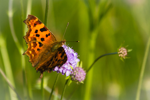 comma on field scabious