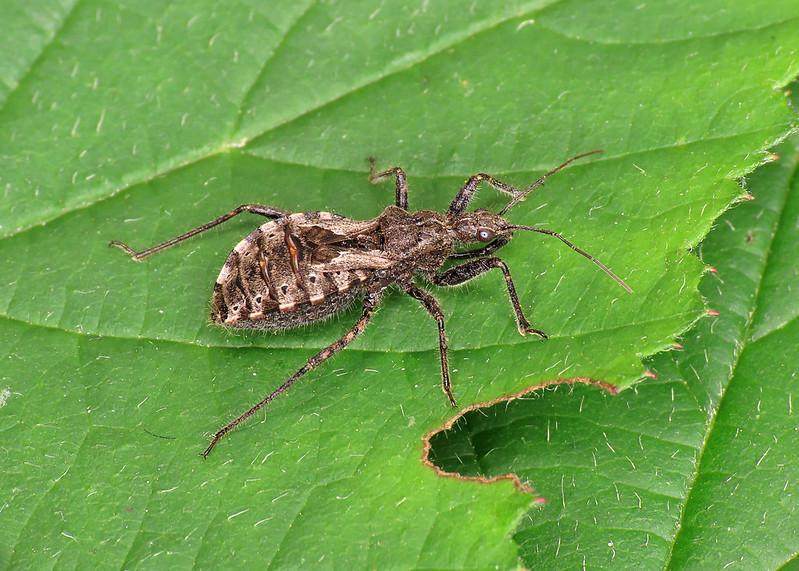 Heath Assassin Bug - Coranus subapterus