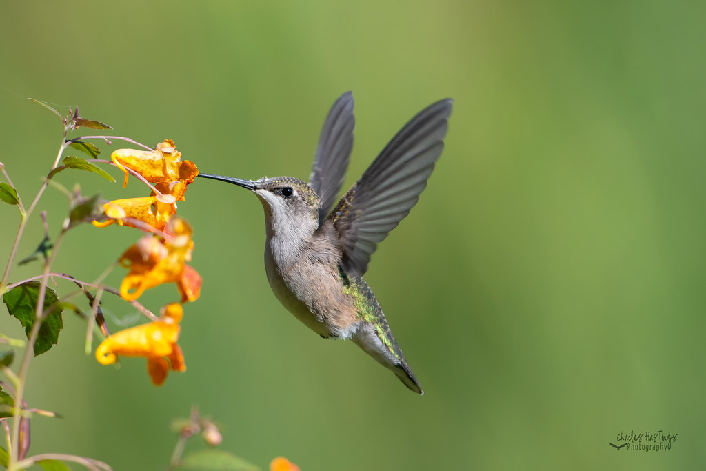 Ruby-throated Hummingbird on Jewelweed