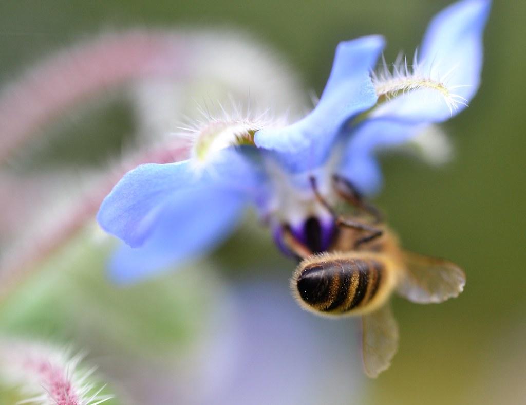 honey bee on borage {explored}