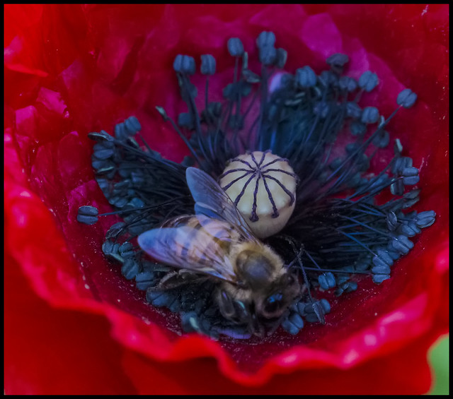 Remembrance Poppy and bee__2=