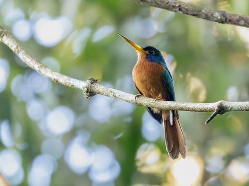 Blue-necked Jacamar/Ariramba-da-mata/Jacamará cariazul (Galbula cyanicollis)