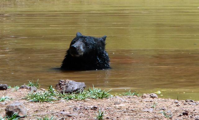 Orso nel laghetto