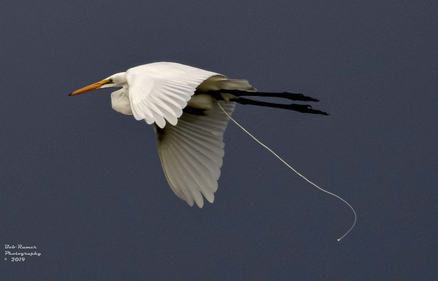 Great Egret 2.