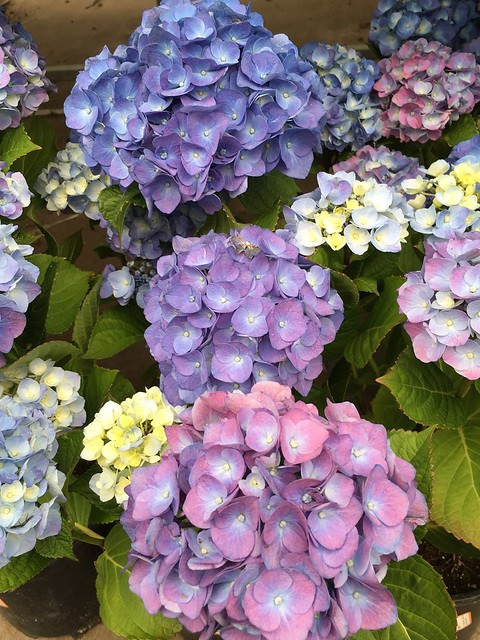 Luminous Blooming Hydrangeas